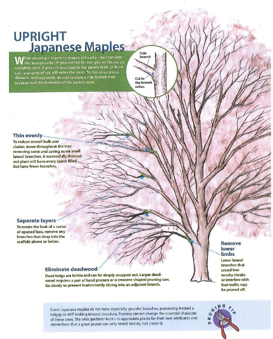 pruning japanese maples high hand nursery rh highhandnursery com When to Prune Maple Trees Pruning Silver Maple Trees